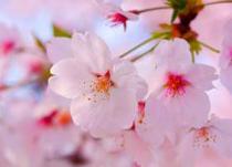 桜クリニック